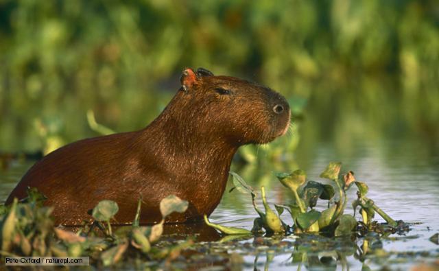 a capybara in wetlands